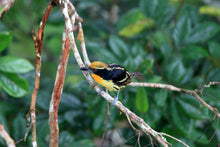 Load image into Gallery viewer, Gilded Barbet