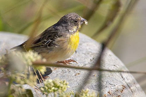 Lemon-breasted Canary