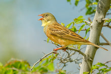 Load image into Gallery viewer, Ortolan Bunting