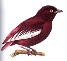 Load image into Gallery viewer, Pompadour Cotinga