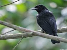 Load image into Gallery viewer, Purple-throated Fruitcrow