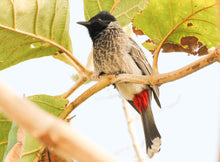 Load image into Gallery viewer, Red-vented Bulbul