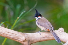 Load image into Gallery viewer, Red-whiskered Bulbul