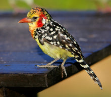 Load image into Gallery viewer, Red-and-yellow Barbet