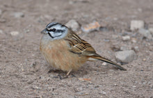 Load image into Gallery viewer, Rock Bunting