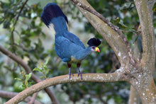 Load image into Gallery viewer, Great Blue Turaco