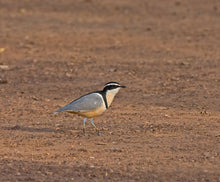 Load image into Gallery viewer, Egyptian Plover