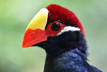 Load image into Gallery viewer, Violet Turaco