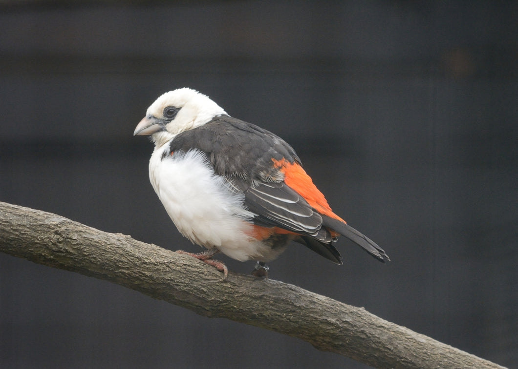 White-Headed Buffalo Weaver