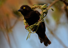 Load image into Gallery viewer, Vieillot's Black Weaver