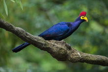 Load image into Gallery viewer, Lady Ross's Turaco