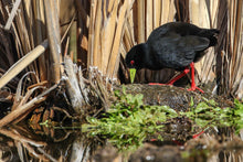 Load image into Gallery viewer, Black Crake
