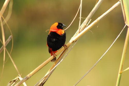 Red Bishop Weaver