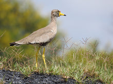Load image into Gallery viewer, Wattled Plover(Lapwing)