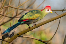 Load image into Gallery viewer, Red-crested Turaco