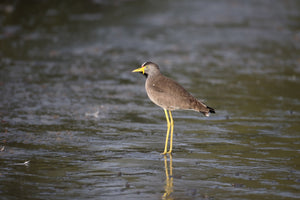Wattled Plover(Lapwing)