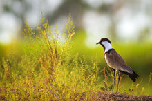 Load image into Gallery viewer, Spur-winged Lapwing