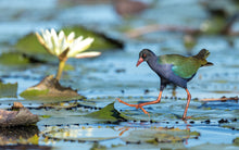 Load image into Gallery viewer, Allen's Gallinule