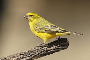 South African Yellow Canary