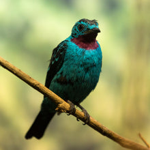 Load image into Gallery viewer, Spangled Cotinga