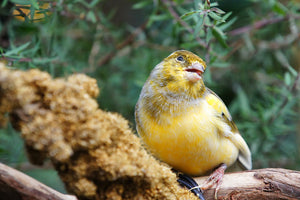 Spanish Timbrado Canary
