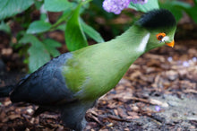 Load image into Gallery viewer, White Cheeked Turaco