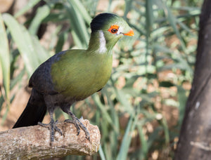 White Cheeked Turaco