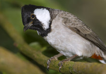 Load image into Gallery viewer, White-eared Bulbul
