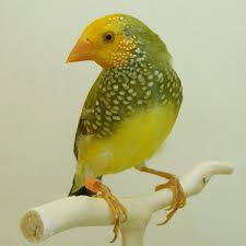Star Finch ( Yellow Face )
