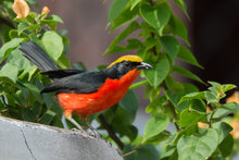 Load image into Gallery viewer, Yellow-crowned Gonolek
