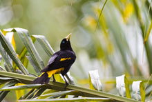 Load image into Gallery viewer, Yellow-rumped Cacique