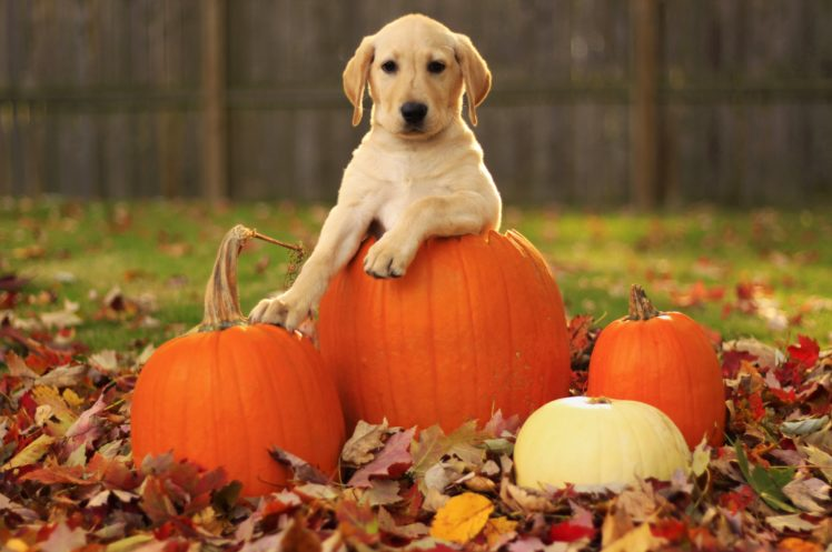 CBD Pumpkin Treats for Dogs: Homemade