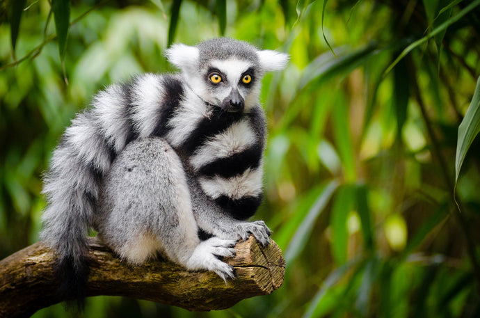 FIVE PLACES TO SPOT MADAGASCAR'S ICONI LEMURS