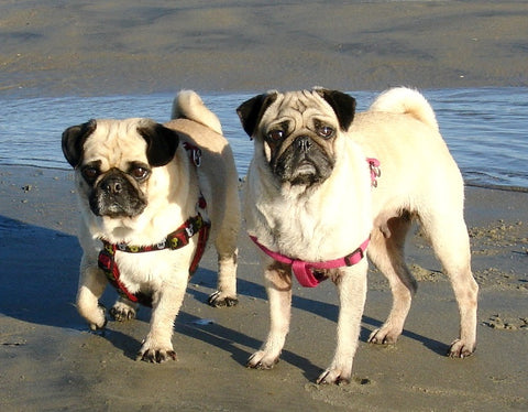 Vinnie and Honey | About Us | Pugz n Stuff