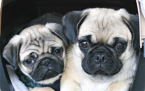 Vinnie and Honey | Pugz n Stuff