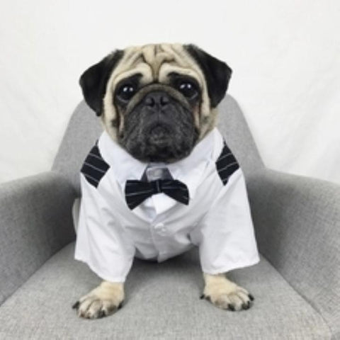Pug in a tuxedo shirt and bow tie