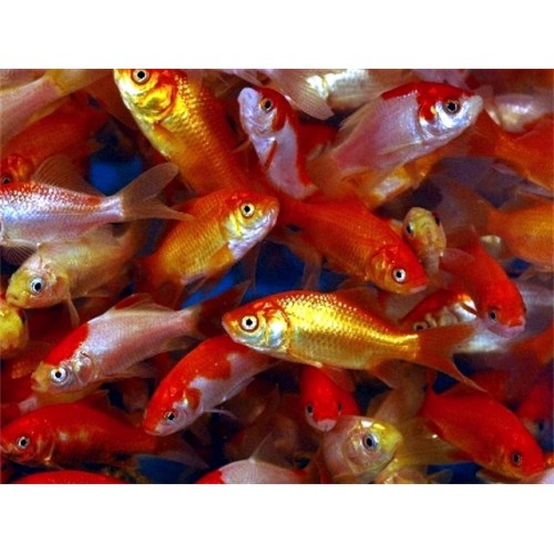 8 inch Junior Breeder package Goldfish (10 pack)