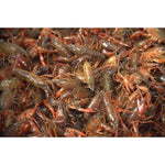 2-3 inch Live Crayfish (100 pack)