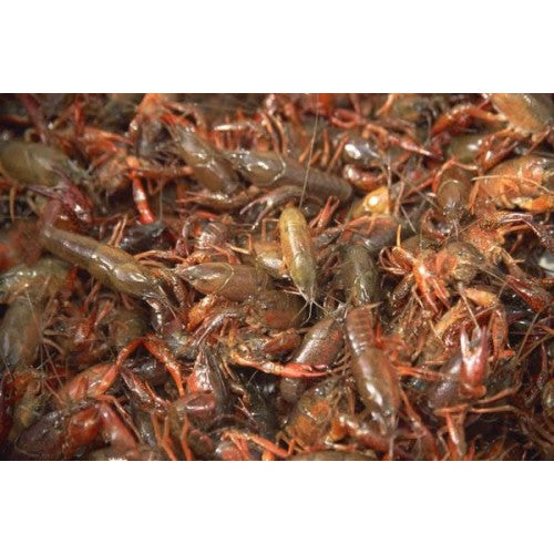 2-3 inch Crayfish (50 pack)