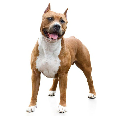 American Staffordshire Terrier / Pitbull
