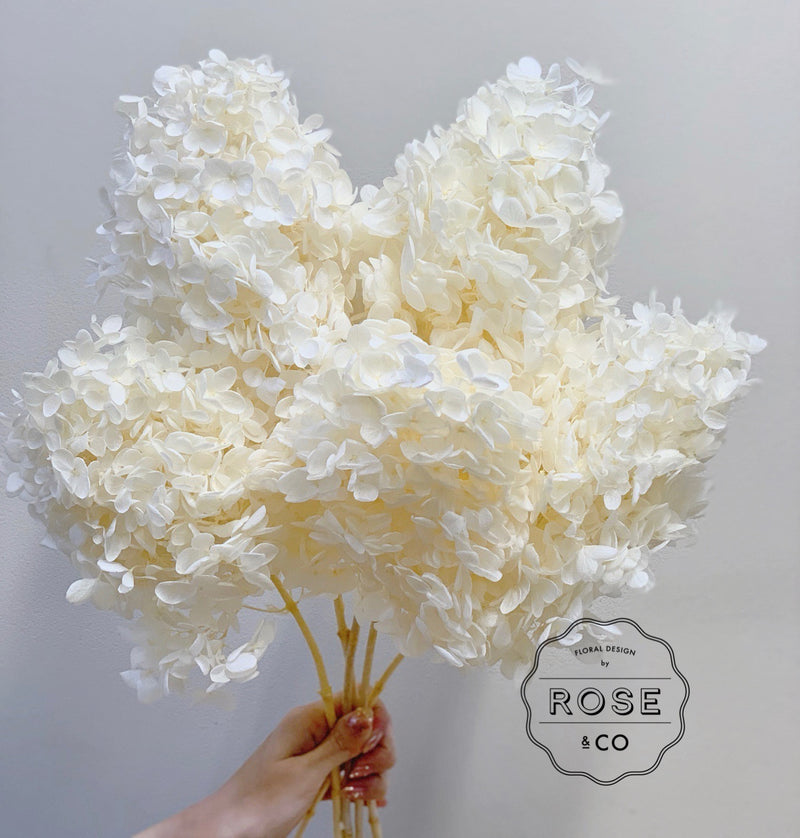 Preserved hydrangea cream colour