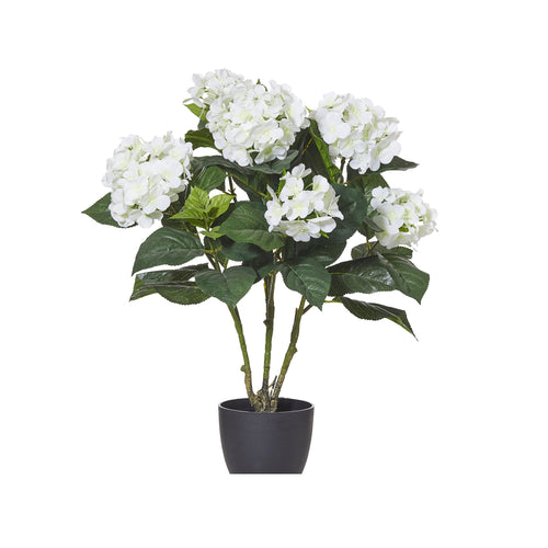 Hyrdrangea Bush In Black Garden Pot 60cm - White