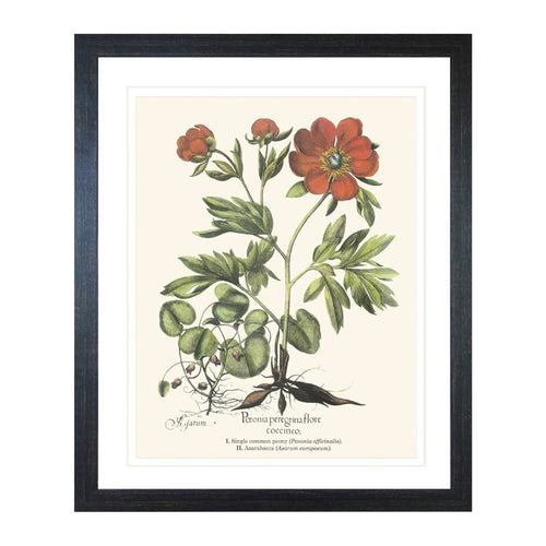 Colonial Hyanthus Print In Black Frame  Homewares nz