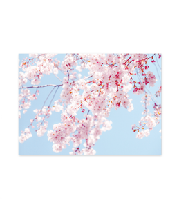 Pictured: pretty image of cherry blossom branches