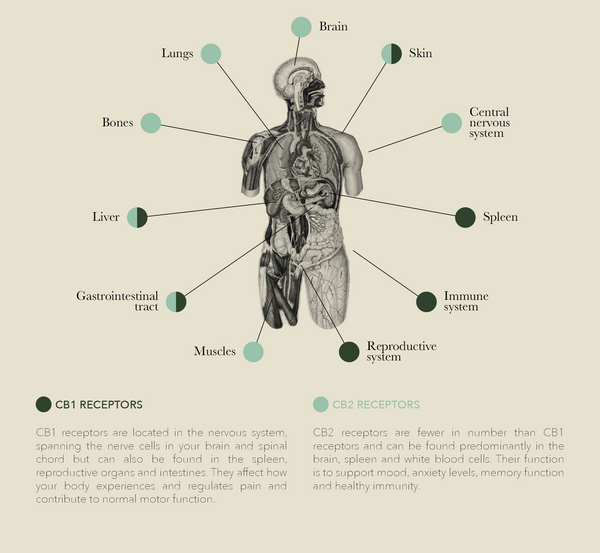 The Endocannabinoid System diagram