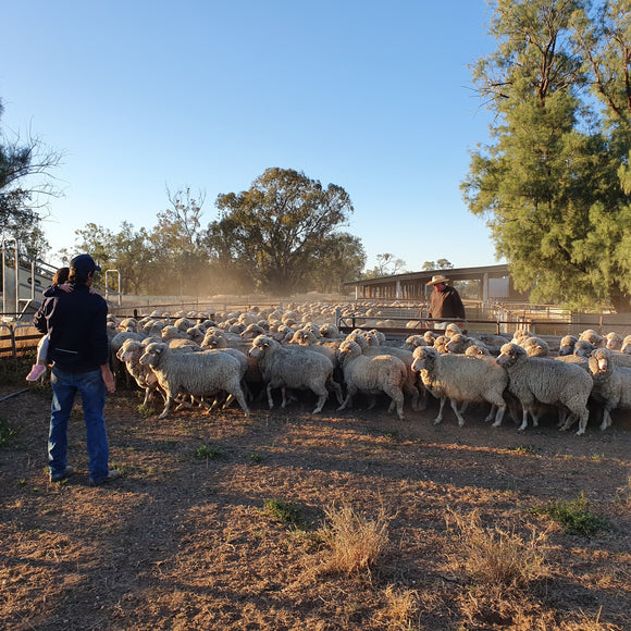 Wilgunya Merino Sheep in yards