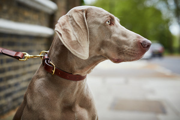 Walnut Brown Leather Dog Collar by Opari