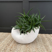 Medium white shell planter