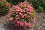 Callistemon  'Purple Cloud' TUBESTOCK