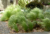 CAREX ALBULA  'FROSTED CURLS' 70mm SUPERTUBES